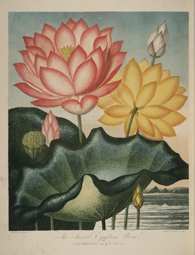 biodiversity heritage library lotus 1 - Lotus Inspiration: Butterfly Vibes