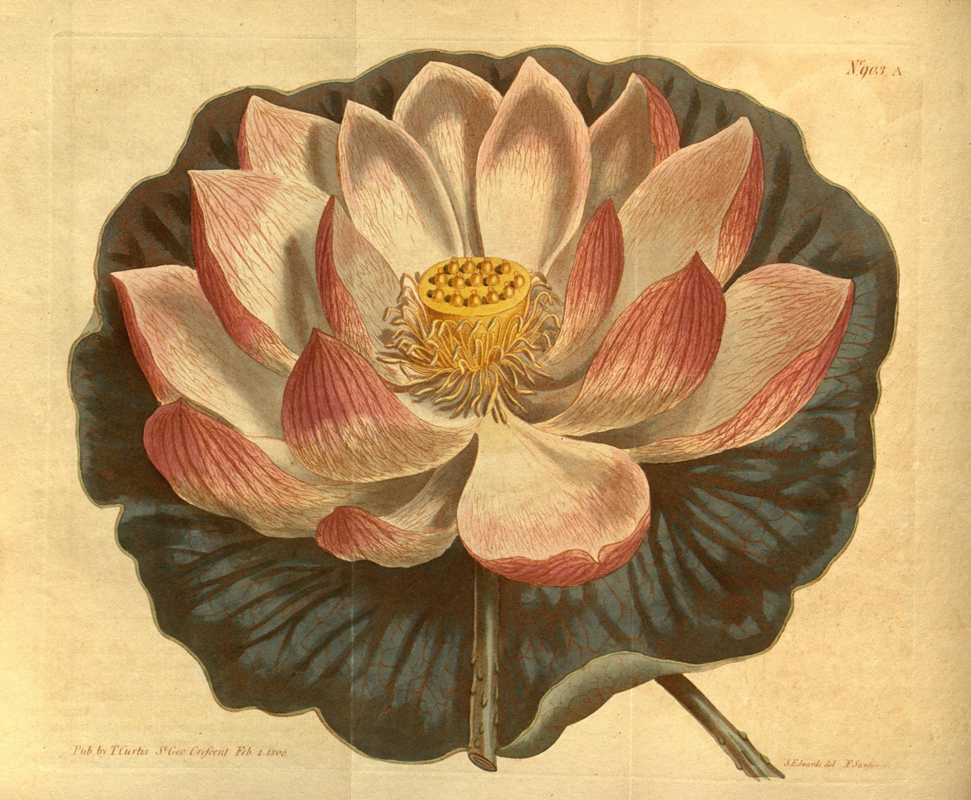 biodiversity heritage library lotus 2 - Lotus Inspiration: Butterfly Vibes
