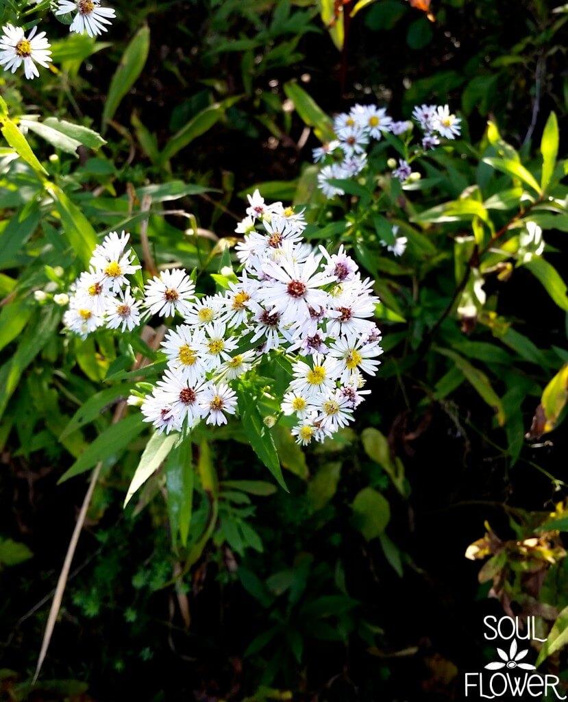You Belong Among the Wild Fox Grapes - Soul Flower Blog