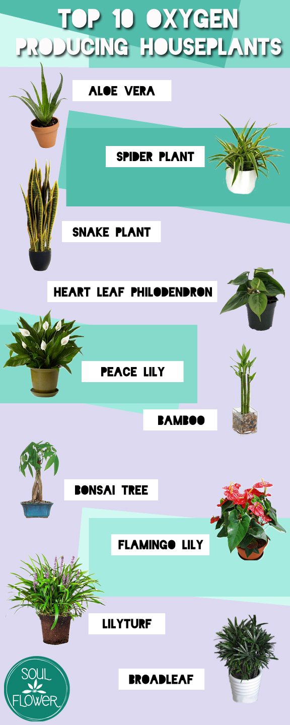 Top 10 oxygen producing houseplants soul flower blog for Oxygen plant
